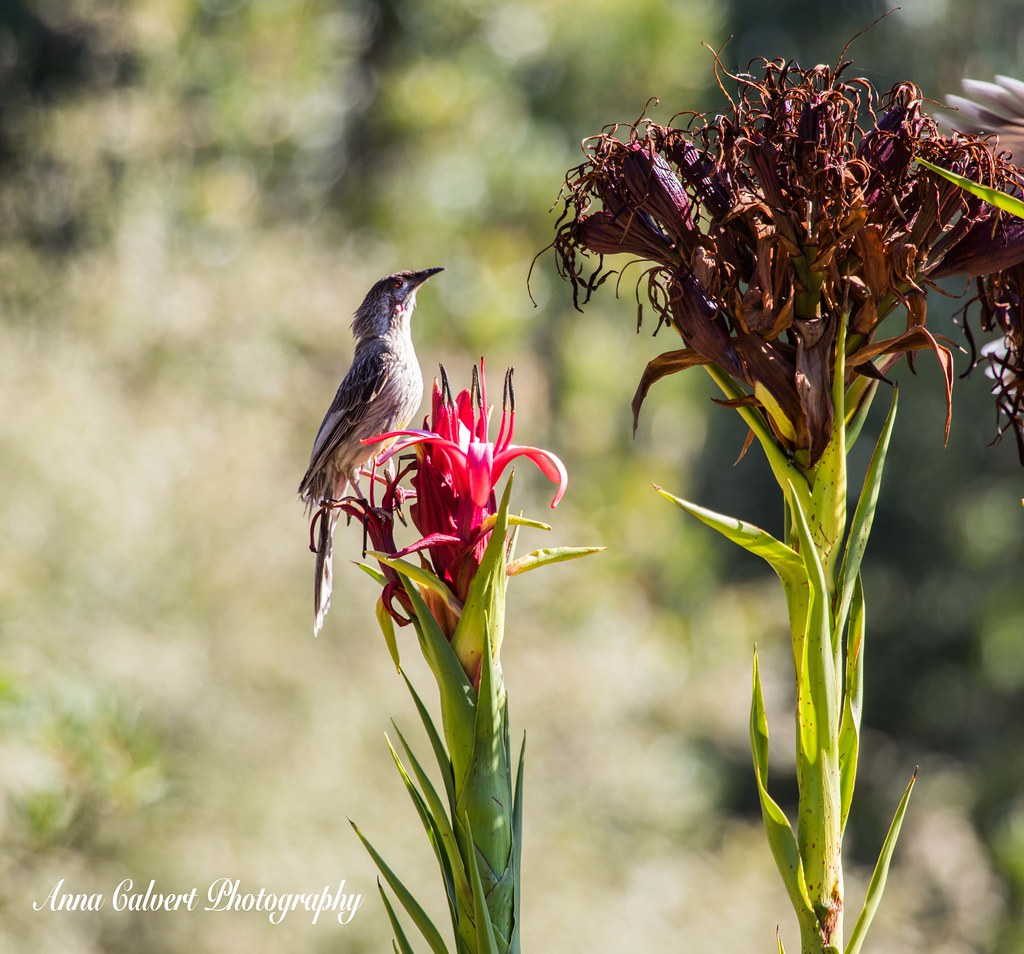 Red Wattlebird on a Gymea Lily
