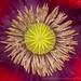 Poppy, 5.11.17