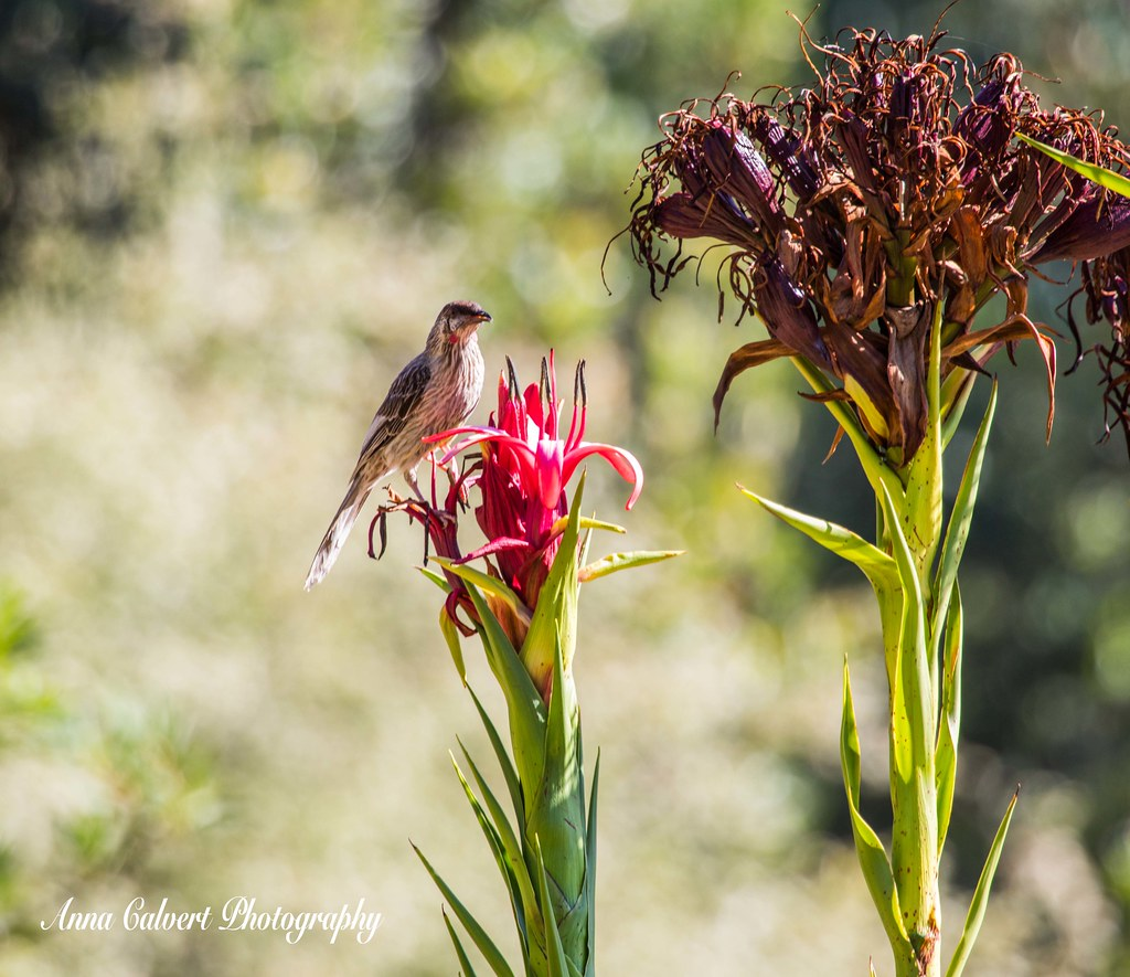 Red Wattlebird sitting on a Gymea Lily