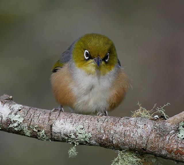 Grumpy fluff ball