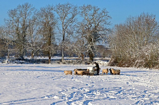 The farmer feeds his sheep in a snowy field on 25.1.21 in Sutton Bonington, Notts after the previous afternoon's  heavy snowfall