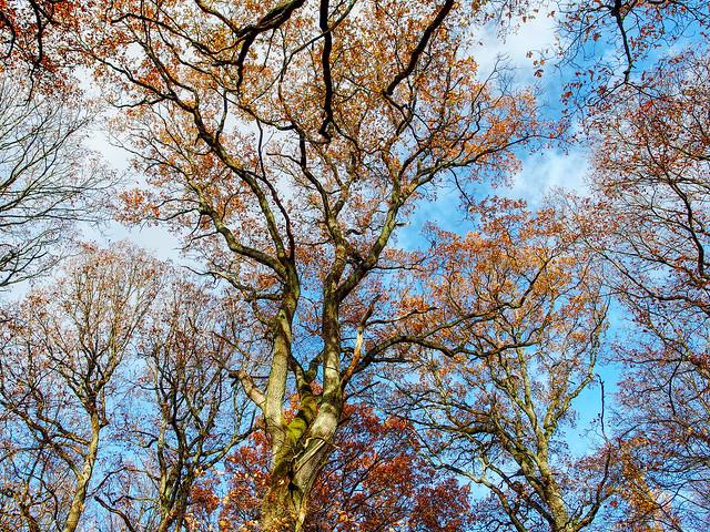 Eichenkronen im Herbst