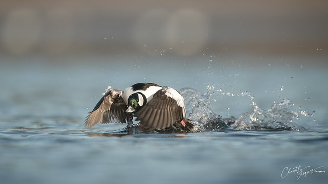 On your marks... Go - Bufflehead