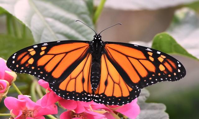 Monarch Butterfly DSC_6610