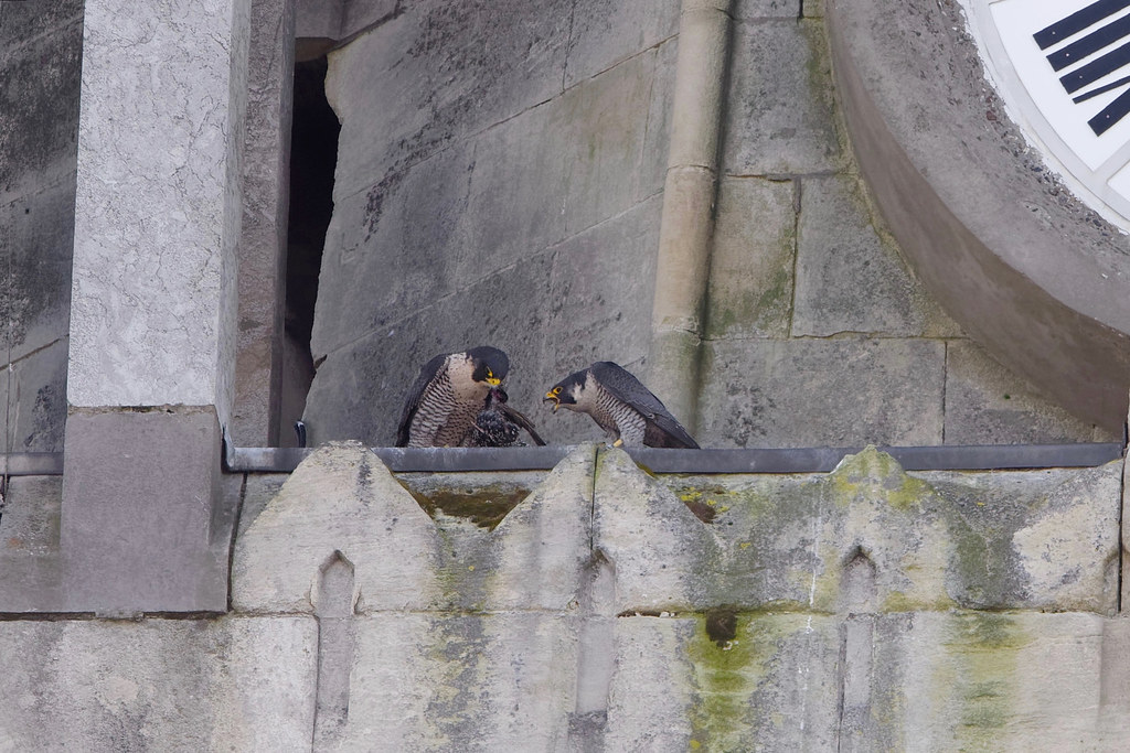 Faucon pèlerin (falco peregrinus)