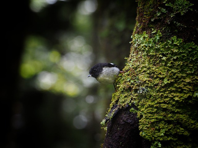 Tomtit, Mt aspring national park, New Zealand
