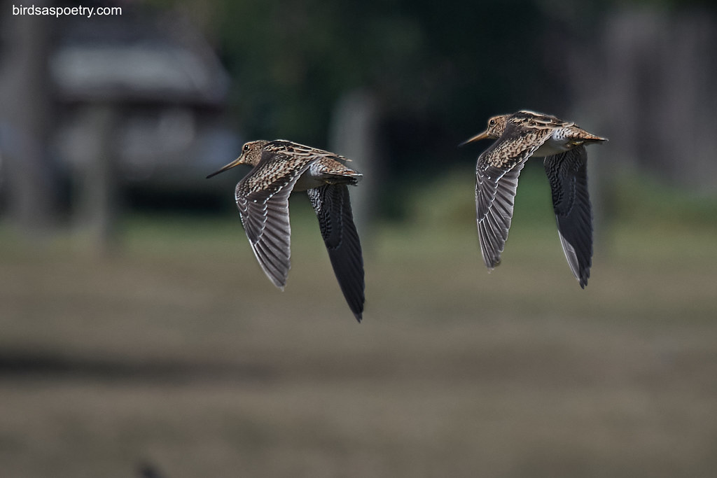 Latham's Snipe: Seeing Double