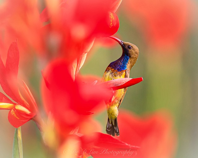 Olive-backed sunbird among red flowers