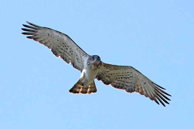 Short-toed Snake Eagle - Circaetus gallicus