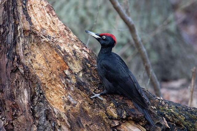 Black Woodpecker, male (Dryocopus martius) Spillkråka