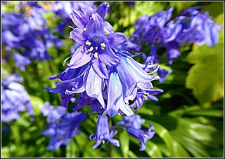 Close-Up of Bluebells ..