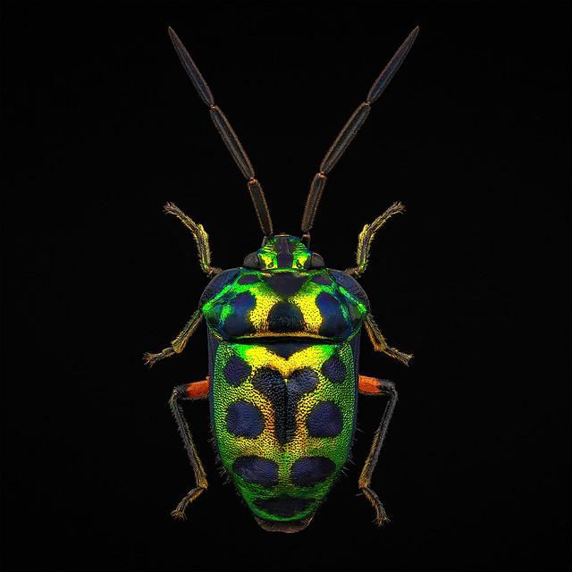 Scutelleridae sp