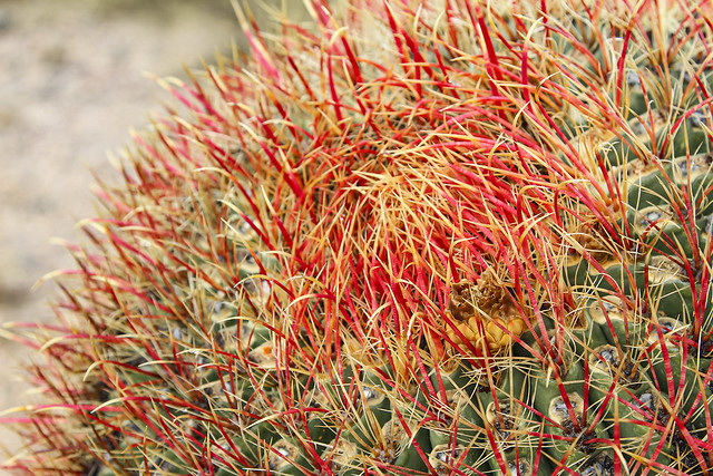 Dangerous Spines, Fishook Barrel Cactus
