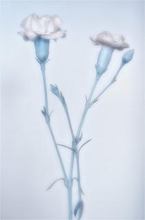 Blue Carnation (POTW 02/21)