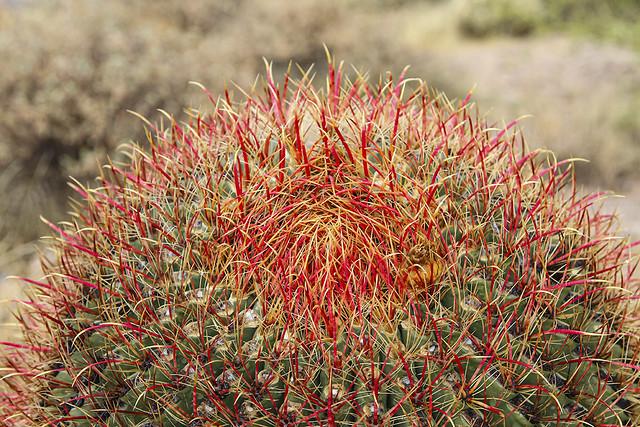 Crown Fishook Barrel Cactus