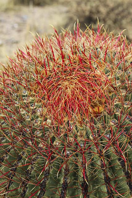 Fishook Barrel Cactus, Top