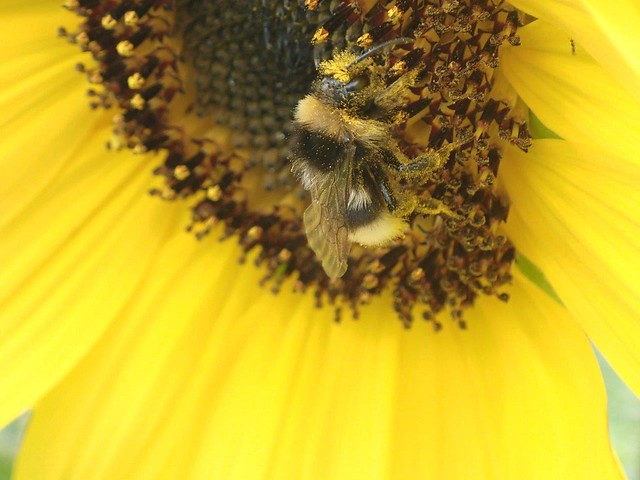 My Allotment 20-07-01 Bees on Sunflowers (21)
