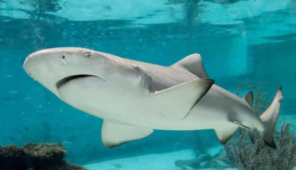 les-requins-sont-en-déclin-de-71-pour-cent
