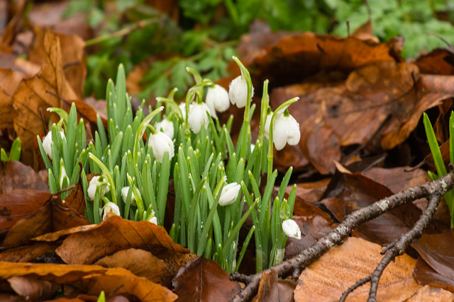 Snowdrops in leaves