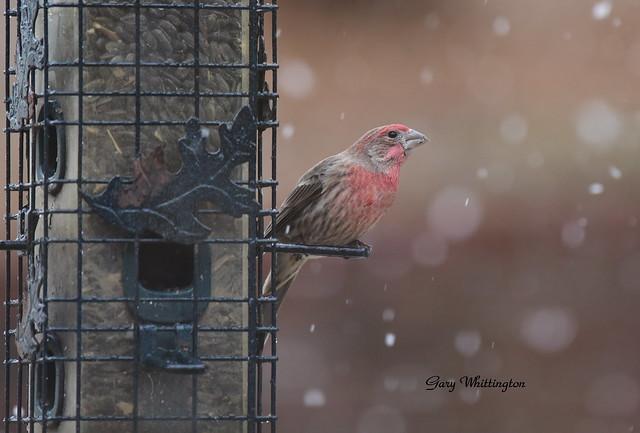 House Wren on feeder in snow_6767ce
