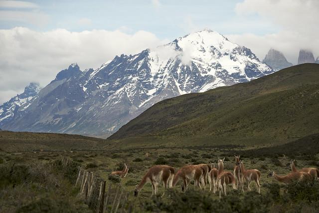 Wild Alpaca 3 - Patagonia Chile