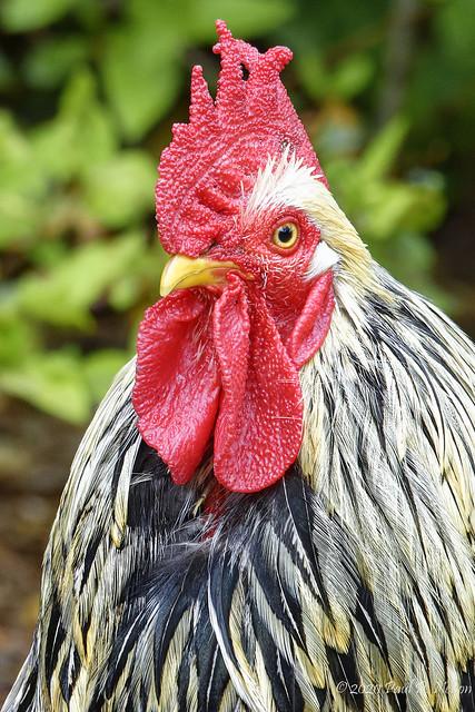 _DSC0213_Chicken