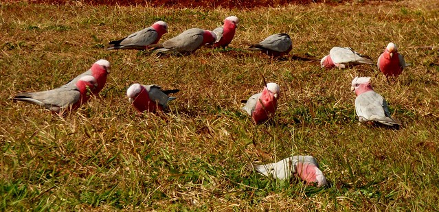 Pink Breasted Cockatoos feeding on grass seeds.