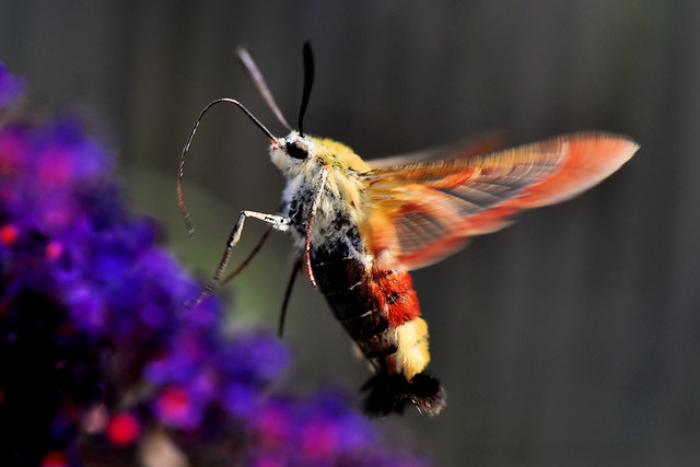 Broad Bordered Bee Hawk Moth (Hemaris Fuciformis)