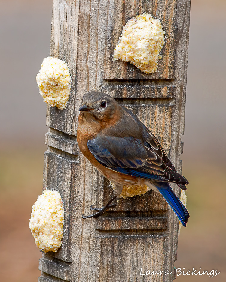 Female Bluebird-