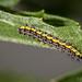 Confused Haploa Moth (Haploa confusa)