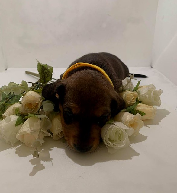 This is Apple my friends new Dachshund puppy and she is gorgeous.