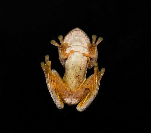 litoriatyleri tylerstreefrog pelodryadidae anura vertebrate fauna macrophotography nature tylersfrogventral australia nsw newsouthwales frog nighttimevisitor amphibia herpetology