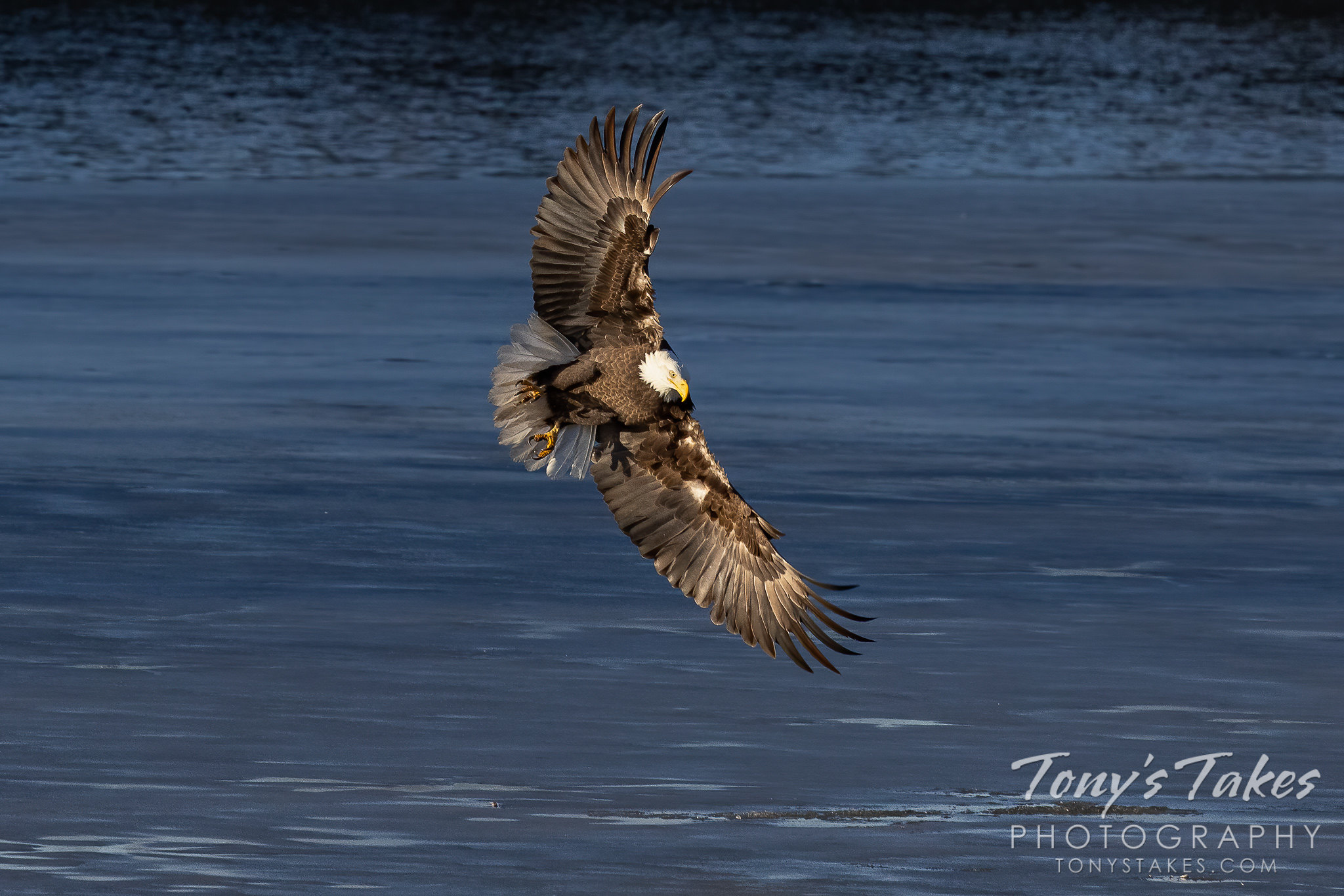 Bald eagle deploys the air brakes for landing