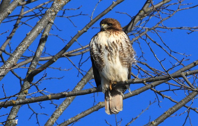 Red-tailed Hawk /Buse à queue rousse ( Diane )