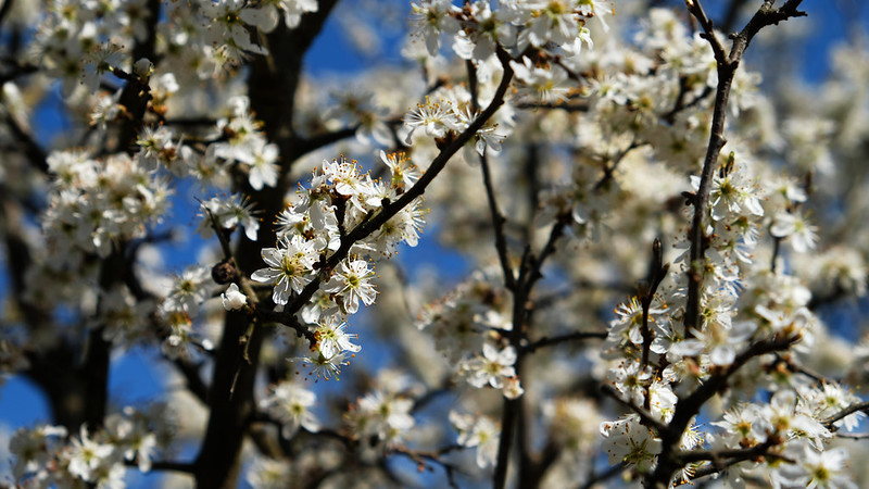 Cherry blossom in Hungary