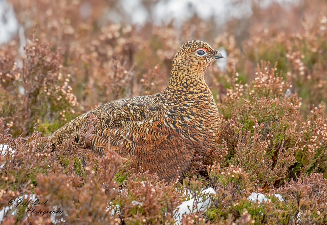 DSC2689  Red Grouse..