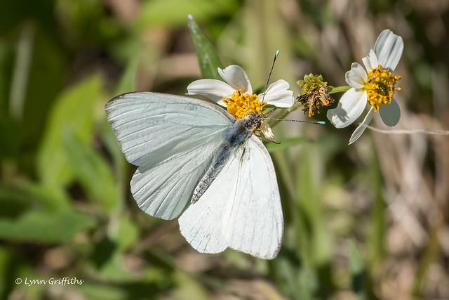 Florida White (Appias drusilla) 502_4527.jpg