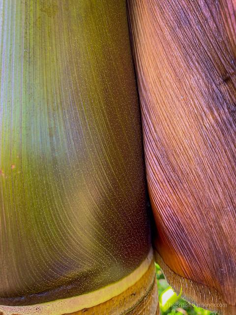 Burretiokentia hapala