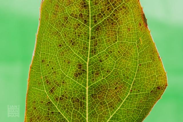 Epimedium leaf