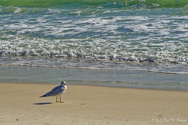 _PDN5652_Ring-billed Gull, Navarre Beach, Florida