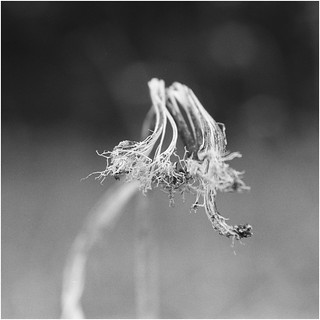 Sunflower seed head study D  62560016 crop line