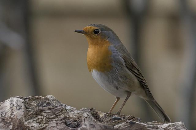 Robin - Roodborstje - Erithacus rubecula