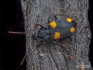 Ground beetle (Craspedophorus hajeki) - P1232936
