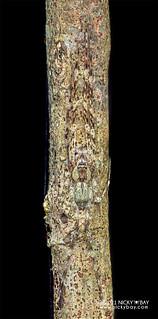 Huntsman spider (Pandercetes sp.) - P1243210