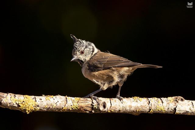 Chapim de Poupa, Crested Tit (Parus cristatus)