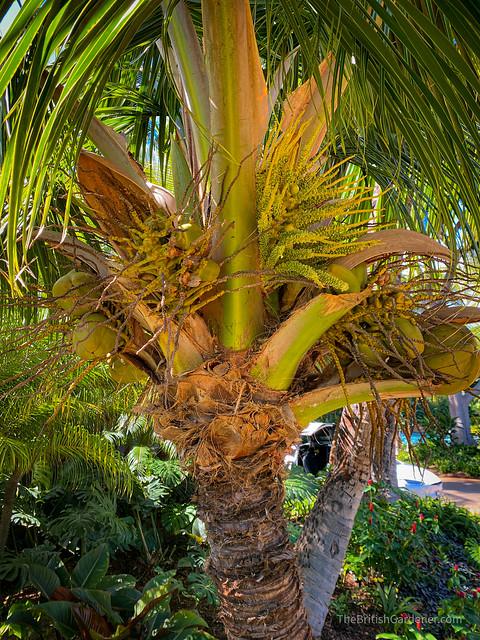 Cocos nucifera 'Malayan Dwarf'