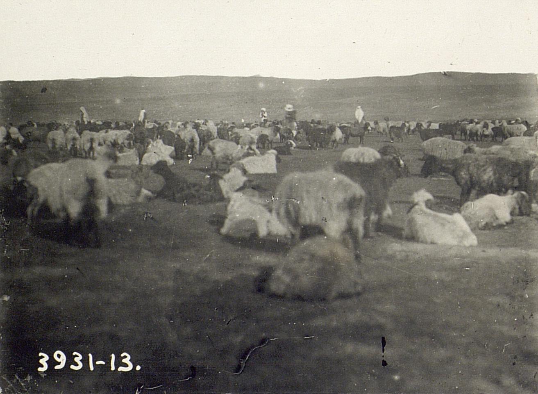Отделение ягнят от стада после кормления женщины и мужчины выносят ягнят на руках