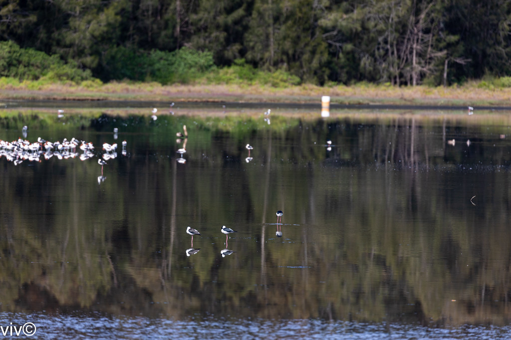 Picturesque Bicentennial Park wetlands with migratory and local birds, Homebush, New South Wales, Australia