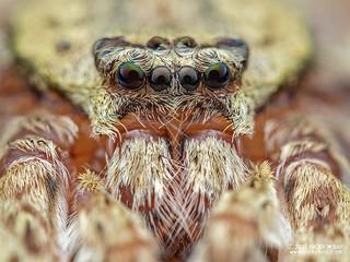 Huntsman spider (Pandercetes sp.) - P1243221