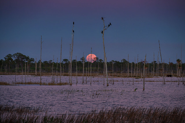 The full moon rising over the marsh at Babcock Wildlife Management Area as the cormorants and Anhingas look on from their night perches in the snags at Babcock Wildlife Management Area.